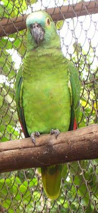 Papagaio(Amazona aestiva) - Foto de Mateus Hidalgo © - Wikipédia