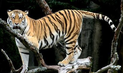 Tigre Siberiano - Foto de Brocken Inaglory © - Wikipédia