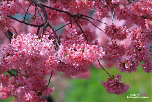 flor-sakura-japao